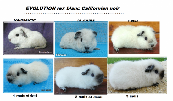 EVOLUTION californien noir . Le marquage du nez est fini vers 4  mois.