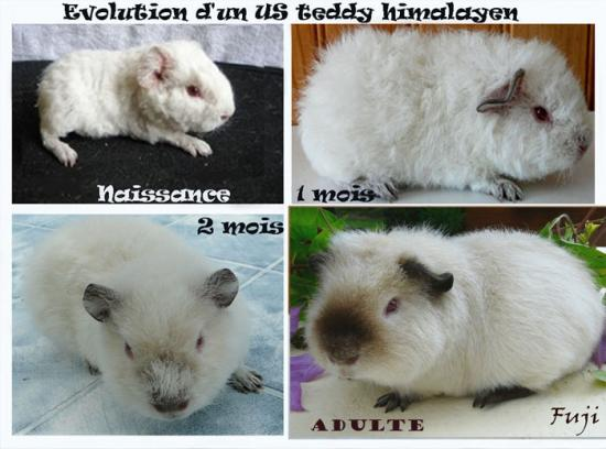 Evolution marquage himalayen sur un US teddy