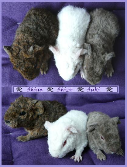 et mes 3 premiers bébés US teddy