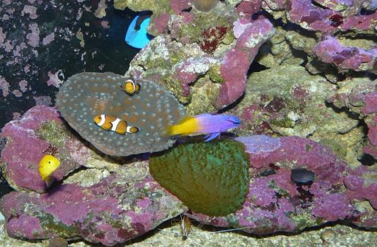 L'aquarium  récifal