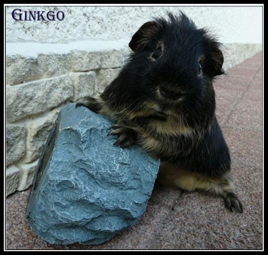 Ginkgo Pl tan noir sur son rocher