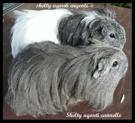 Différence entre 2 sheltys agoutis: