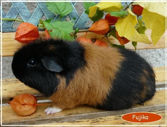 Fujika us teddy tricolore